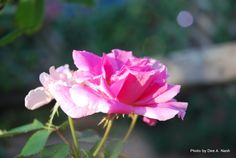 Rosa 'Carefree Beauty,' one of Dr. Griffith Buck's best roses.