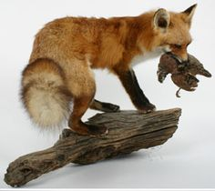 Sorry people, but I do like the look of a touch of taxidermy around a house. Red Fox Taxidermy Mount holding Quail.