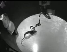 Researchers trained a rat with an infrared-detecting sensor wired into its brain that it could find water at a door marked with an invisible light. Credit: Thomson et al., Nature Communications (2013)