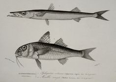 1849 Antique print of FISHES: GOATFISH and BARRACUDA. Sea Life. Fishing. Fish. 166 years old gorgeous lithograph by TheOldPrintsCabinet on Etsy https://www.etsy.com/listing/225246906/1849-antique-print-of-fishes-goatfish