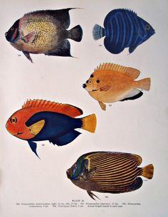 Vintage Print.Fish illustration 1949. CastafioreOldPrints,