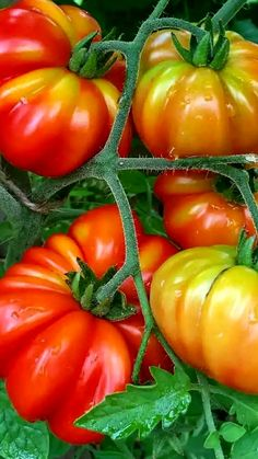 Green Fruit, Fruit And Veg, Fruit Plants, Fruit Trees, Growing Vegetables, Fruits And Vegetables, Goat Shed, Tomato Seedlings, Black Food