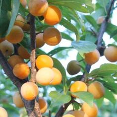 Manchurian Apricot - Zone 3a - Hardy Fruit Tree Nursery Apricot Tree, Plum Tree, Plum Varieties, Fruit Tree Nursery, Pink And White Flowers, Stone Fruit, Hardy Plants, Fruit Trees, Spring
