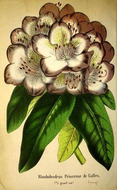 t. 14 (1864) - Belgique horticole. - Biodiversity Heritage Library
