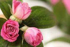 ¿Quieres eliminar pulgones de tus rosales y devolverle su esplendor a estas maravillosas plantas? Conoce 5 recetas caseras, eficaces y seguras.