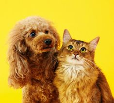 Despite the cliché about fighting like cats and dogs, it's perfectly possible for the two species to live happily under one roof. Yorkshire Terrier, Shih Tzu, Introducing A New Dog, Battersea Dogs, Cat Work, Feral Cats, Cat People, Domestic Violence, Humane Society