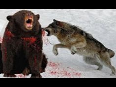 GRIZZLY BEAR VS PACK OF WOLVES | White Wolf and Hungry Bear Fight - AMAZ...