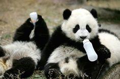 Conoce la guardería de osos panda más adorable del mundo