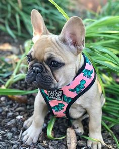 Frank and Oliver ( French Bulldog Harness, Baby Dinosaurs, Photo And Video, French Bulldogs, Cute, Animals, Friends, Instagram, Animais