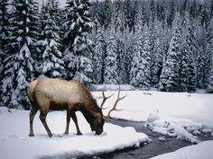 Elan dans une forêt enneigée
