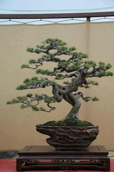 A wicked cool bonsai tree. Decades of training the branches were involved in shaping this tree.
