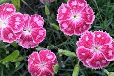Prolific single upward facing pink and crimson flowers, attractively marked over low greyish foliage. Sandy Soil, White Cottage, Drought Tolerant, Garden Inspiration, Flower Power, Perennials, Frost, Coastal, Gardening