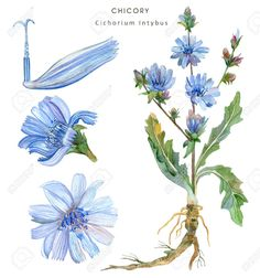 Set From Elements Culinary And A Herb Of Chicory (Cichorium Intybus). Stock Photo, Picture And Royalty Free Image. Herbs Illustration, Watercolor Illustration, Graphic Illustration, Botanical Drawings, Botanical Prints, Flower Line Drawings, Nature Drawing, Banner Printing, Watercolor Flowers