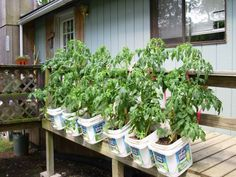 DIY: Cat Litter Buckets Deck Planters.  Too funny, my neighbor has been doing this for years!