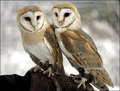 The Barn Owl - (Tyto alba) is the most widely distributed species of owl on the planet.    The Barn Owl is predominantly nocturnal, roosting during the daytime, hunting mice, shrews & rats by night. In the wild, they are relatively short-lived with many dying in their first year, their average life expectancy is around 2-3 years.     There are 35 sub-species of Barn Owl.