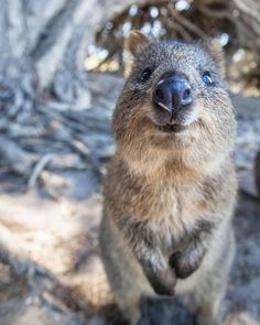 One year ago already....   #travelbug Last year at the same time we were meeting the happiest and cutest animal on Earth in Rottnest Island Australia  Let me introduce you to the Quokka  Quokkas look like a cross betweena kangarooand a rat...  #quokka #rottnestisland #perth #westernaustralia #seeaustralia #australia #neverstopexploring #cutest #happy  #travel #travelporn #traveling #travelgram #mytravelgram #travelblogger #travelblog #travelling #bestdestination #bestoftheday #picoftheday…