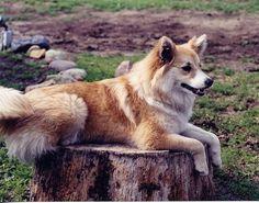Icelandic Sheepdog (Iceland Sheepdog) (Islandsk Farehond) (Friaar Dog ...