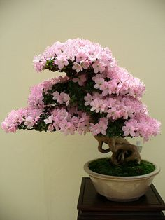 Cerezo Bonsai