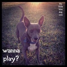 Louie, The Little Blue Dog  www.thelittlebluedog.com