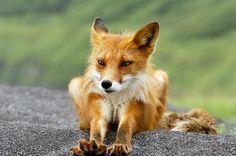 A fox having a stretch