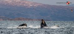 Tromso, Aurora Borealis, Norway, Whale, Photography, Animals, Northern Lights, Fotografie, Animales
