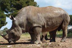 Javan Rhinoceros | Endangered Animals Facts, Wildlife Pictures And ...