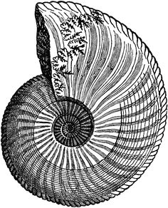 Chambered Nautilus Shell Drawing Nautilus shell chambered