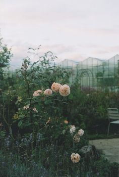 green house and roses