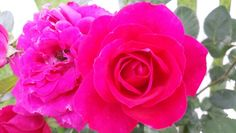 Alexander McKinsey rose