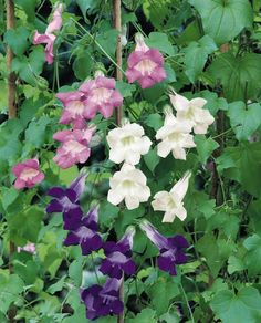 Asarina Jewel Mixed blooms.