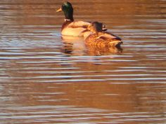 A mallard and his hen creating lovely designs at the pond by the East side dog park, Casper, Wyoming