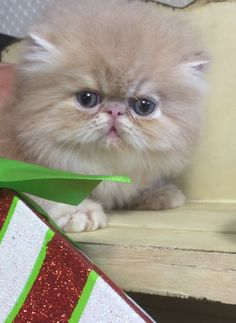 Persian kittens for sale western ny