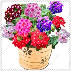 200 seeds/pack hot selling Verbena Seeds potted flower seeds,bonsai plant for home garden