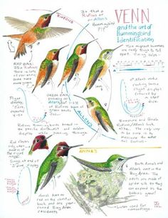 If you live in an area with both Rufous and Allen's Hummingbirds, Venn and the Art of Hummingbird Identification from Bay Nature may help you tell them apart! Polo Sul, Polo Norte, Exotic Birds, Colorful Birds, Pretty Birds, Beautiful Birds, Bird Barn, Barn Owls, Sparrow Art