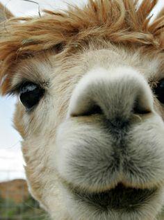 look at the beautiful eyes of an alpaca!