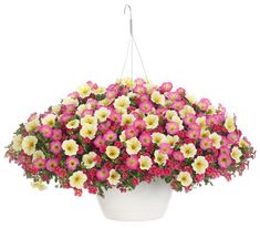 Proven Winners - Supertunia® Daybreak Charm - Petunia hybrid pink yellow sunshine yellow centers with watermelon pink edges plant details, information and r.