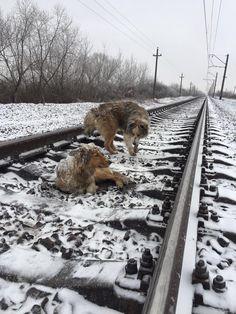 Cachorro deita em linha do trem para proteger companheira ferida #timbeta #sdv #betaajudabeta