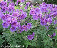 Tarhakurjenpolvi - kungsnäva - Geranium x magnificum