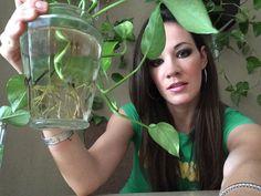 Como reproducir varias plantas por medio de un codito, esqueje o un troc...