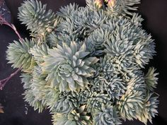 Succulent: Graptoveria 'Fanfare'