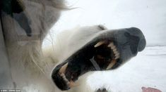 Terrifying: This is the moment that wildlife cameraman Gordon Buchanan came face to face with a hungry polar bear in Svalbard, in the northern-most region of Arctic Norway, for his three-part BBC series The Polar Bear Family and Me. Polar Bear Video, Facts About Bears, Planet Earth Ii, The Bear Family, Bear Attack, Big Teeth, Smile Teeth, Bbc Two, Close Encounters