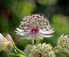 Stjerneskærm: halv skygge, fugtig jord, plantes ud hele året, lerholdigjord ikke grus, juni-sep, 50-100 cm