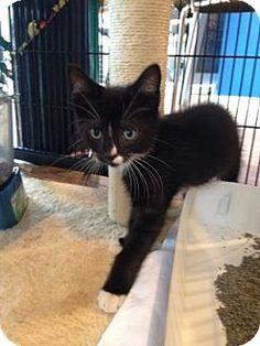 Philadelphia, PA - Domestic Shorthair. Meet John Smith, a kitten for adoption. http://www.adoptapet.com/pet/14248905-philadelphia-pennsylvania-kitten