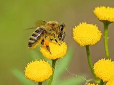 Pollination & Cross-Polination: All You Need to Know as a Gardener Honey Bee Facts, Wild Bees, Black Bee, Plant Information, Save The Bees, Companion Planting, Flower Wallpaper, Bee Keeping, Yellow Flowers