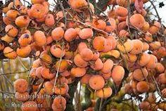 kaki persimmon tree