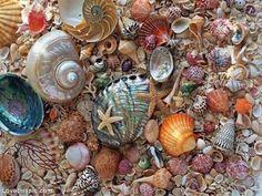 sea shells - Buscar con Google