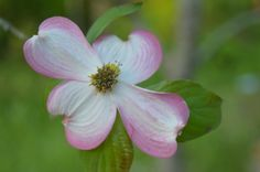 Pink Dogwood from my sister-in-laws yard