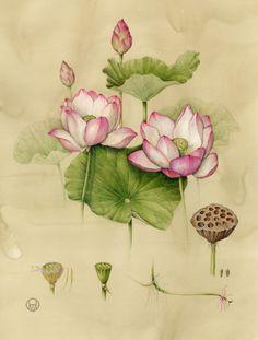 Lotus - aquarelle