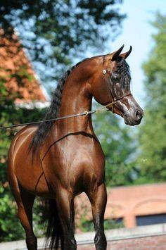 Emerald J :: Ted Carson Arabians Triple Crown Winners, Arabian Stallions, Beautiful Arabian Horses, Portrait, Beautiful Creatures, My Little Pony, Cute Animals, Lei, Ponies