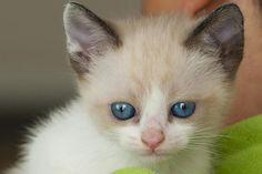 ANAIS - Gato adoptado - AsoKa el Grande